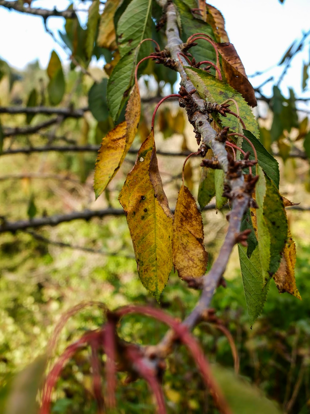 A branch of a cherry tree with leaves changing colour.
