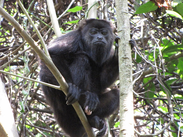 Howler monkey study examines mechanisms of new species formation