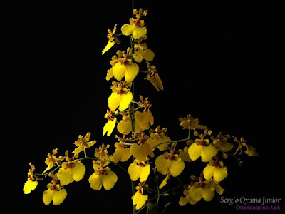 Orquídea Chuva de Ouro - Oncidium Aloha Iwanaga
