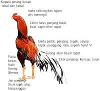 CIRI AYAM ADUAN dari ayam bangkok asli Thailand