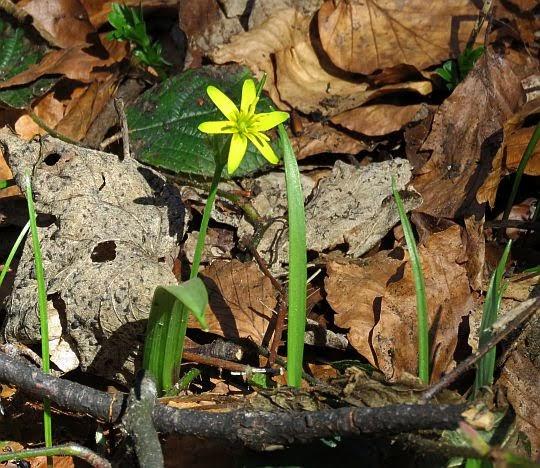Złoć żółta (Gagea lutea).