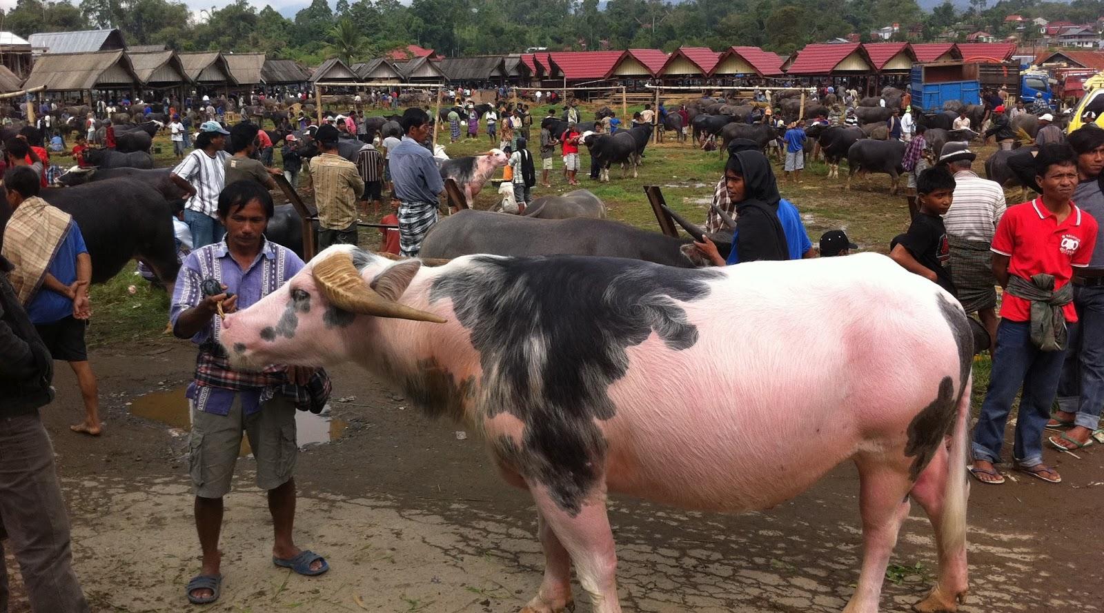 harga kerbau mahal sekali #4 Pasar Bolu di Toraja