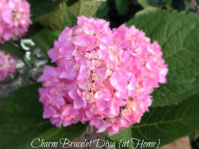 pink smooth leaf hydrangeas