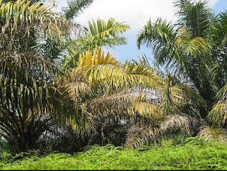 ciri tanaman kekurangan unsur hara nitrogen