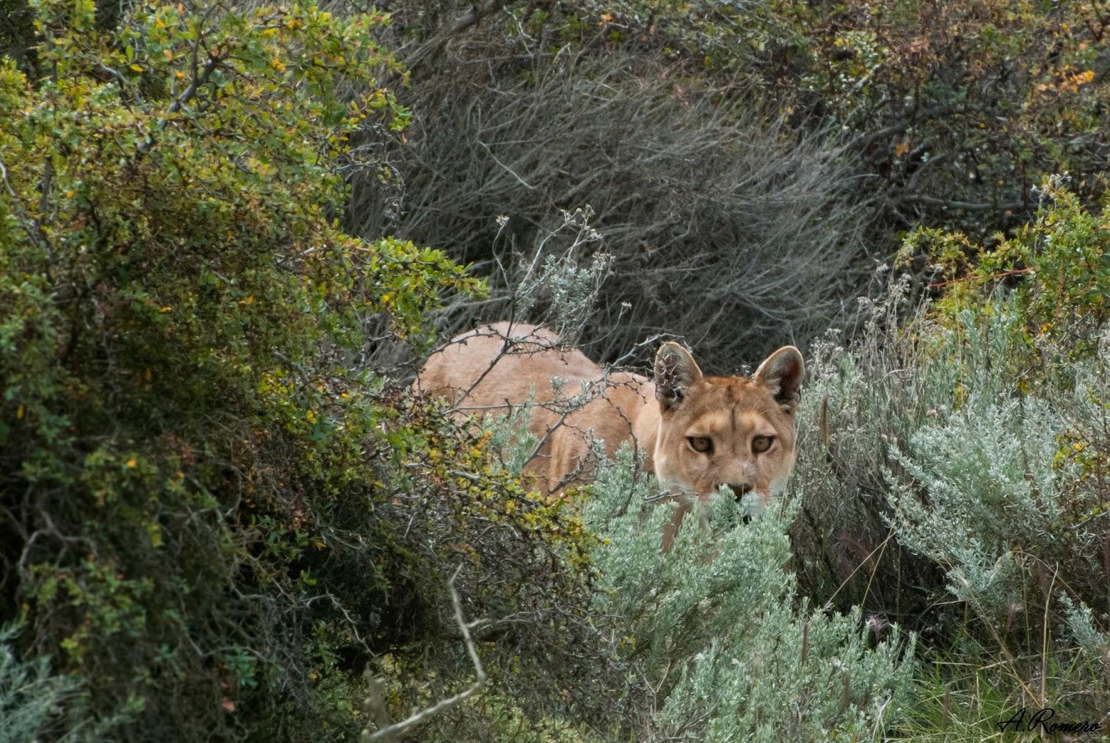 El puma (Puma concolor), cuarto felino más grande del planeta, habita desde el Yukón canadiense hasta el extremo sur del Sudamérica. Parque Nacional Torres del Paine, Chile.