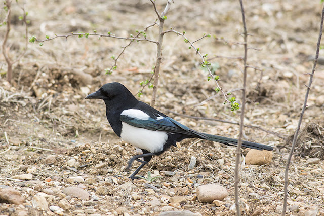 Black-billed Magpie Study 3