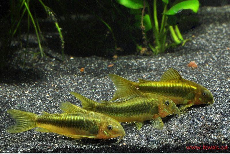 Gambar, Foto Corydoras Jenis Ikan Hias Tawar Yang Berwarna Hijau