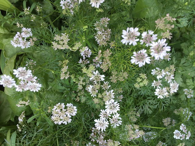 Both the seeds and leaves of coriander (cilantro) have been used in cooking for millennia, and coriander is considered one of the oldest spices in the world