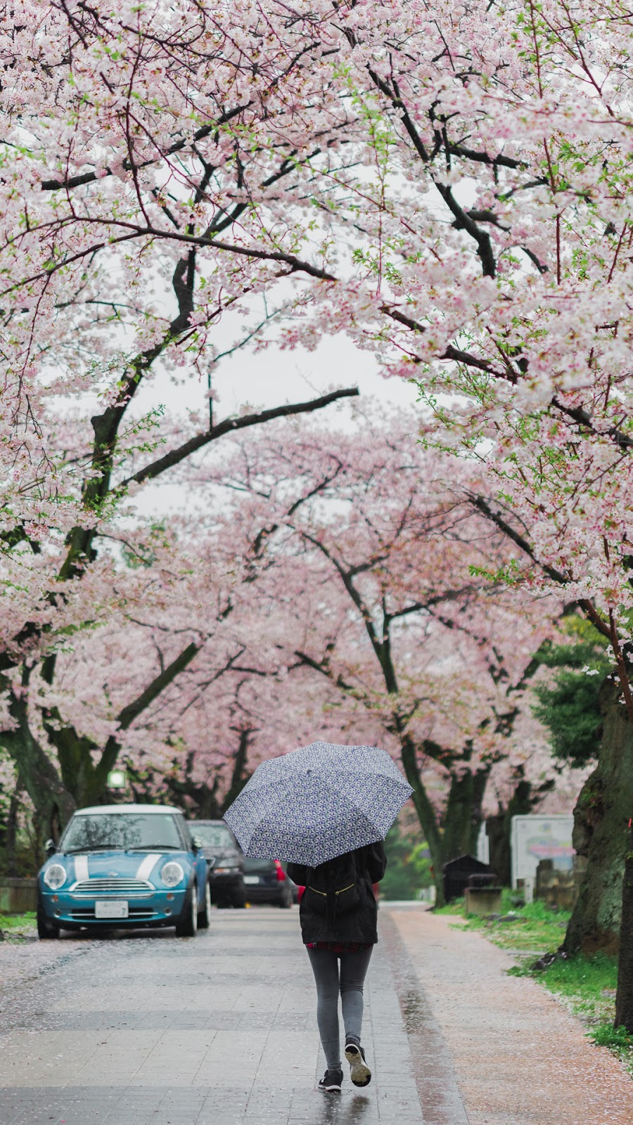 Cherry Blossom Wallpaper In Japan