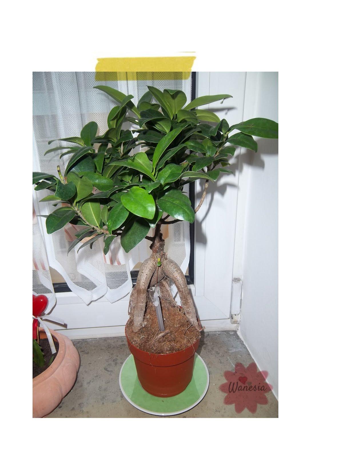 Una Scultura Chiamata Ficus Ginseng WANESIA