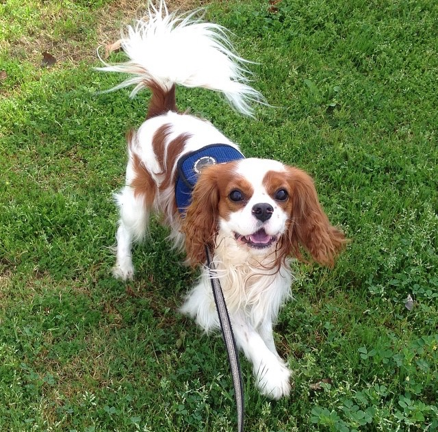 Happy blenheim Cavalier King Charles spaniel on grass