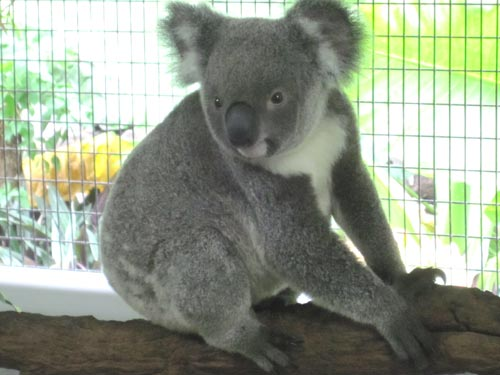 Koala At Cairns Tropical Zoo