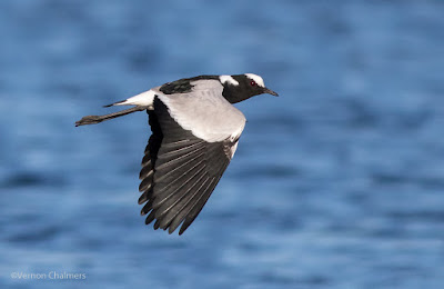 Blacksmith plover / Kiewiet - Woodbridge Island Cape Town