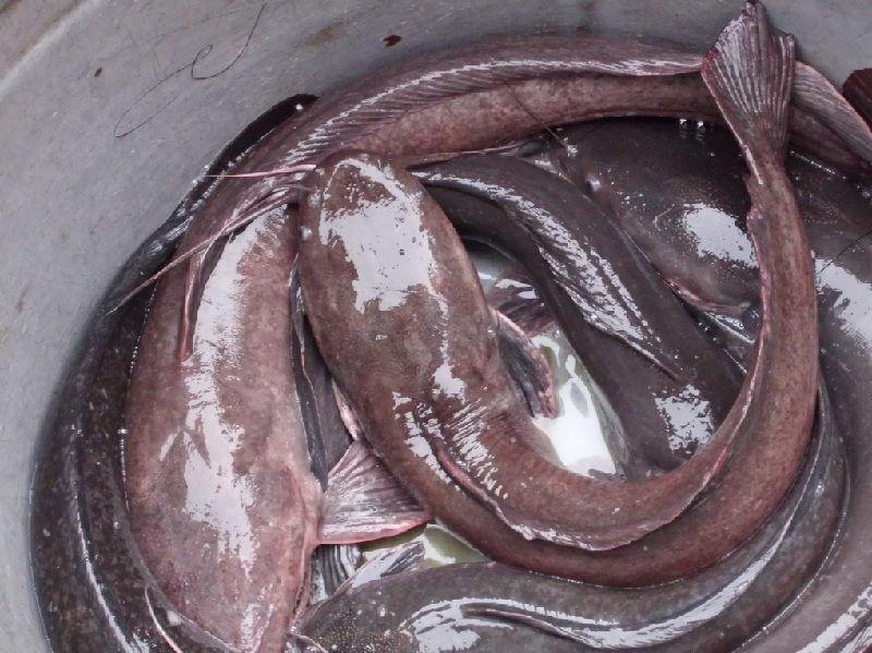 gambar ikan lele sangkuriang