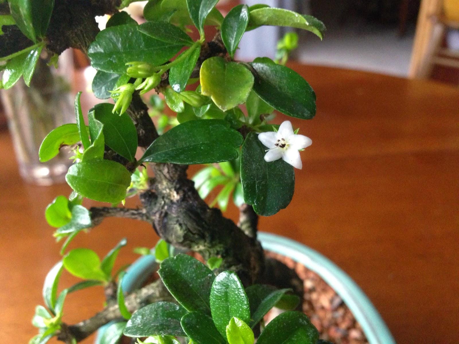 flowering fukien tea bonsai tree care