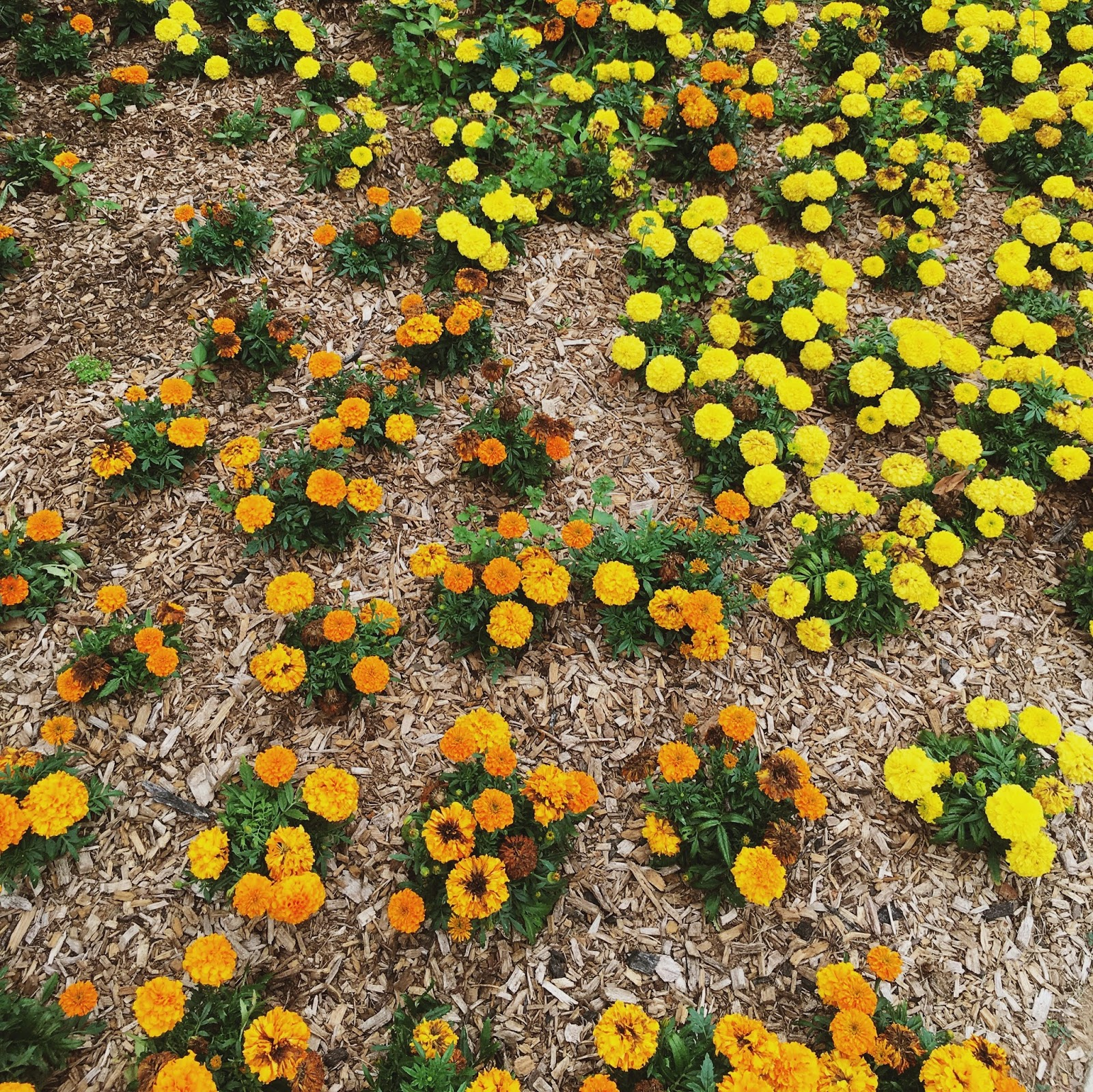 city-of-marigolds