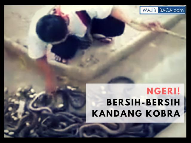 Video : BIKIN NGERI! Orang Ini Membersihkan Kandang yang Penuh Berisi Ular Kobra