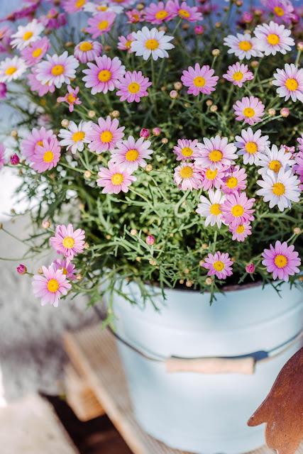 Gartenimpressionen, Sommerbepflanzung, Pomponetti,  Margherite in altem Emaille-Eimer