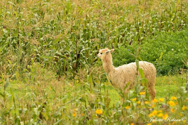 Alpaga et champ de maïs au Pérou