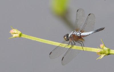 Brachydiplax chalybea