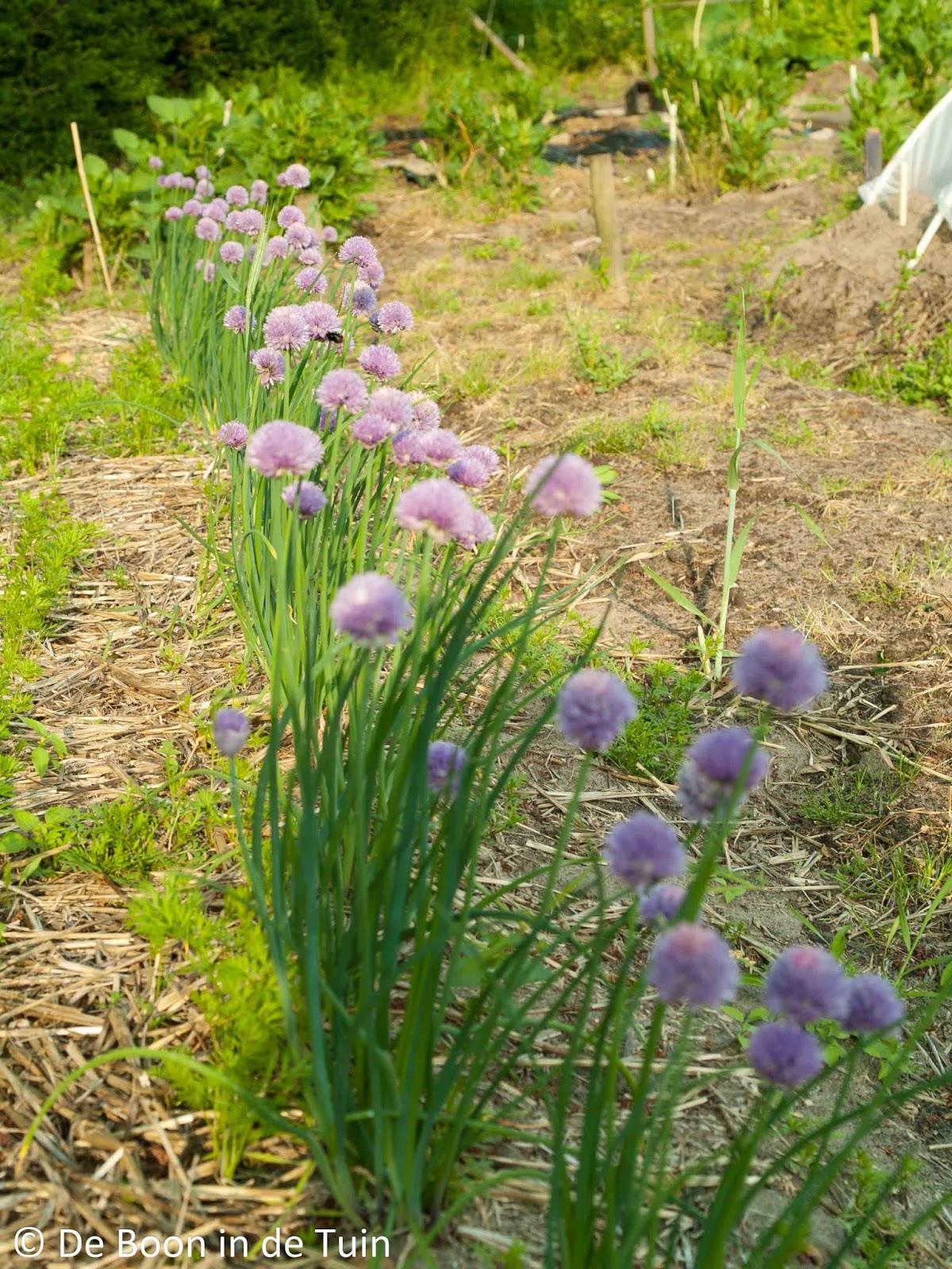 bieslook bloei moestuin volkstuin wortel wortelvlieg