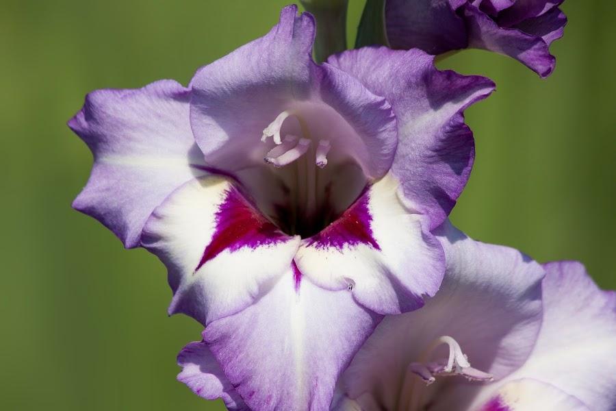 Beneficios para la salud del gladiolo