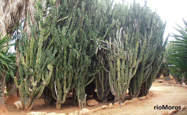 euforbia candelabro Euphorbia ingens