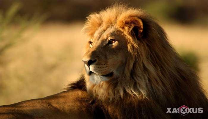 Gambar hewan karnivora atau hewan pemakan daging - Singa