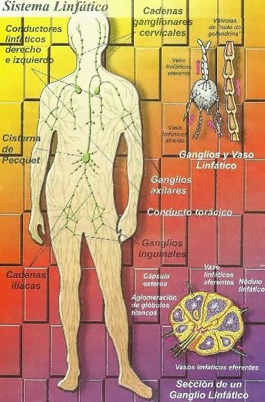 Dibujo del sistema linfático indicando las partes que lo componen