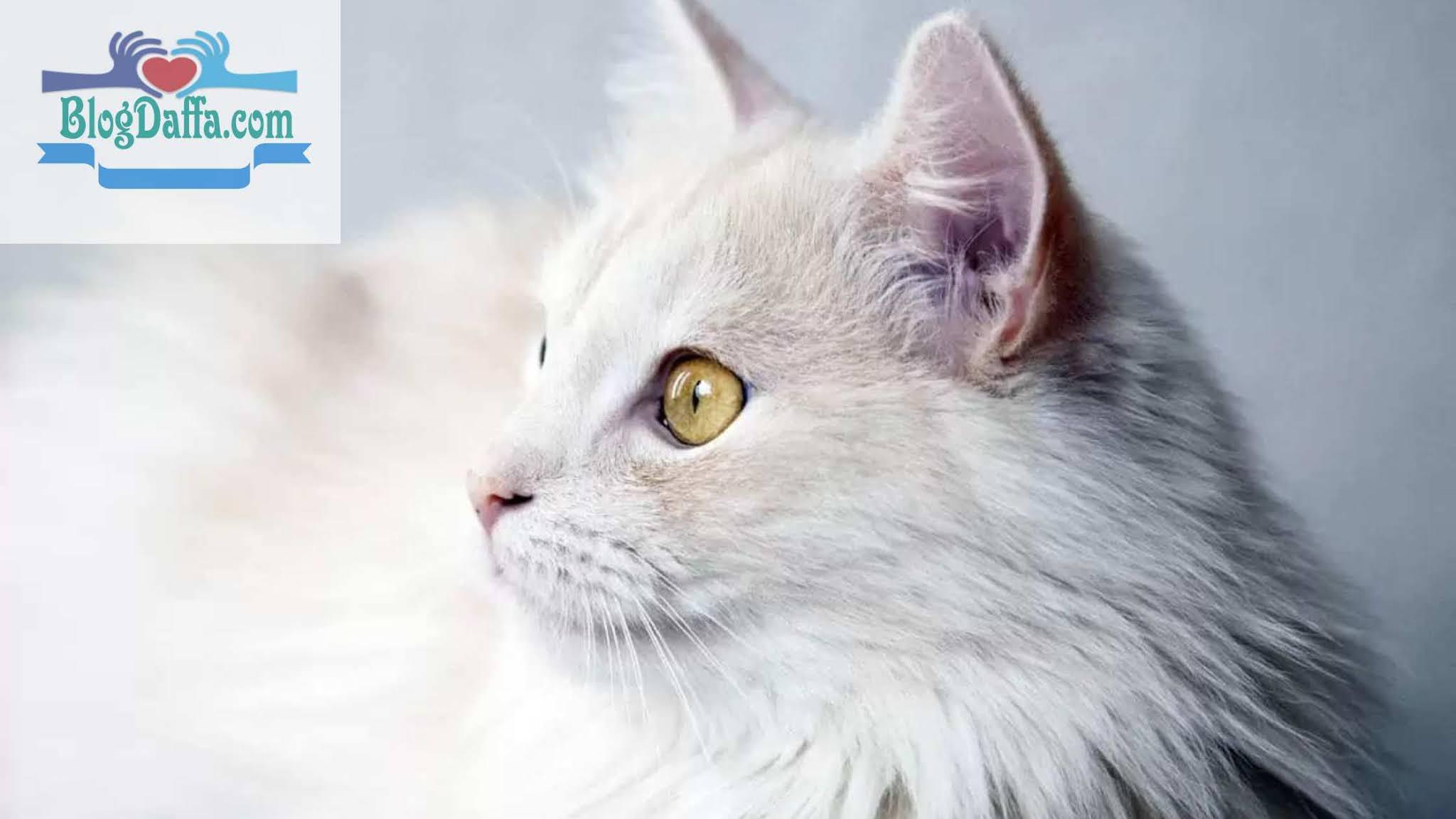 Kucing Turkish
