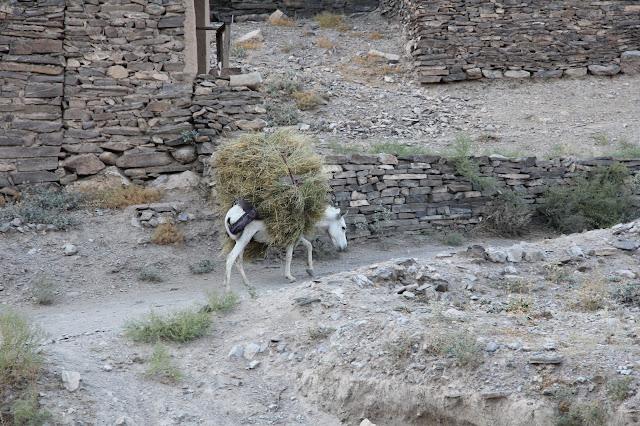 Ouzbékistan, Sentyab, ânes, saxaoul, © L. Gigout, 2012