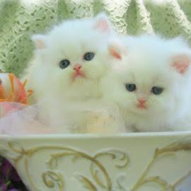 Gambar Kucing Couple Lucu - 81021+ Nama Untuk Kucing Comel ...