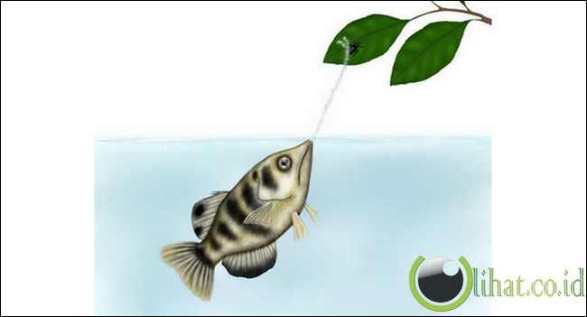 Archer Fish (Ikan Pemanah)