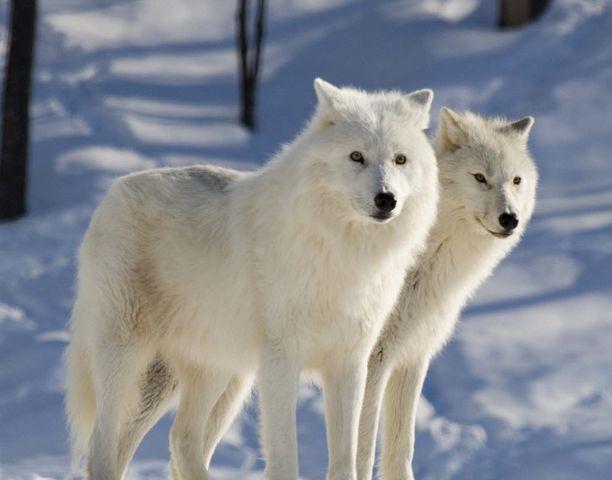 Wolves In The Wild : Gillian Hammerton