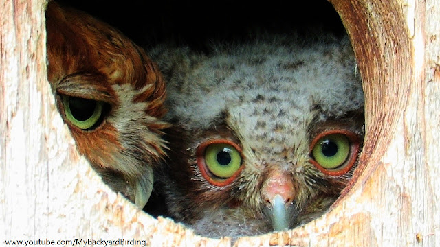 Mother Screech Owl and Child - Strong Bond