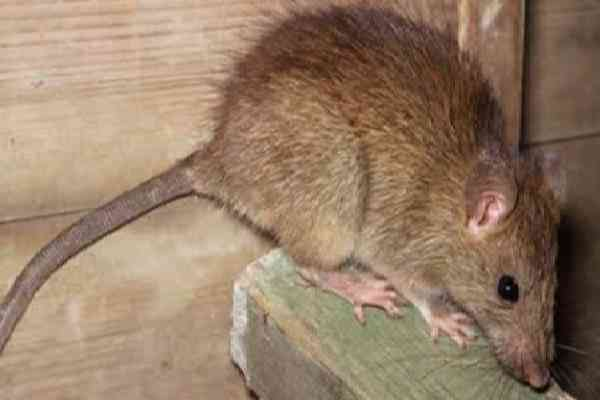 Tips Cara Membasmi Tikus Dalam Rumah