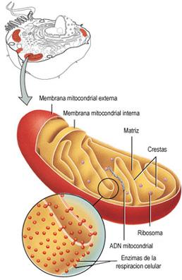 Azúcar en la sangre,Presión arterial,insulina,quemar grasa,perder peso,radicales libres,extracto de hojas de olivo