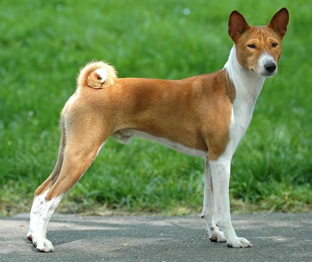 The basenji Dog