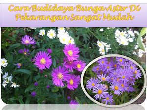 Cara Budidaya Bunga Aster Di Pekarangan Sangat Mudah