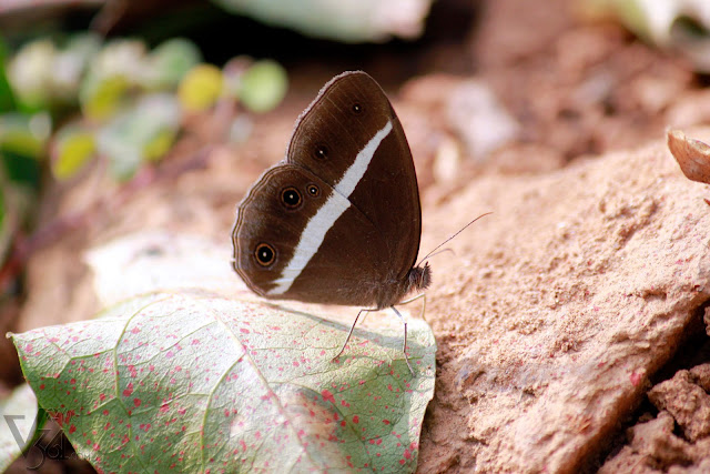 Common Four-ring (Ypthima huebneri)
