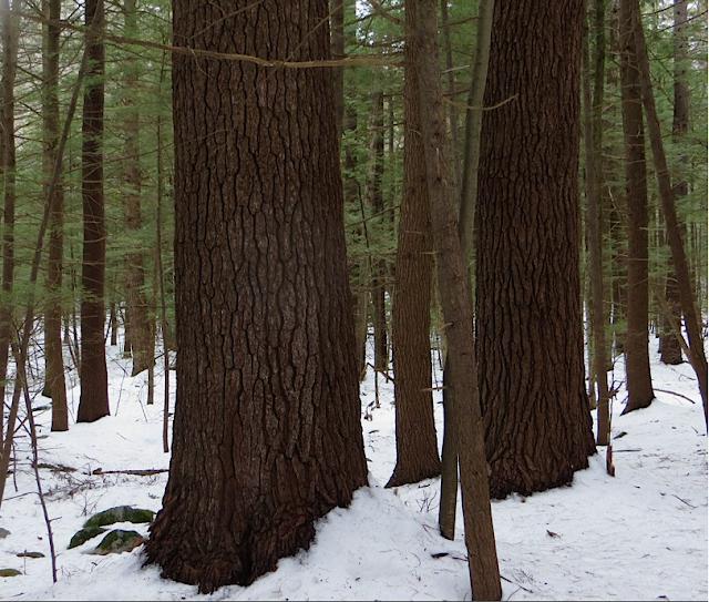 Large White Pines on Broad Brook, Northampton MA