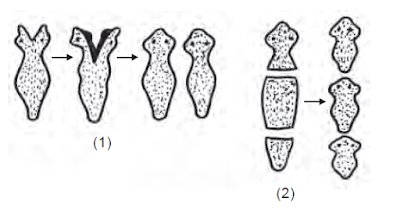 Fragmentasi pada cacing pipih