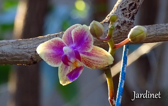 Mini orquídea phalaenopsis no coco
