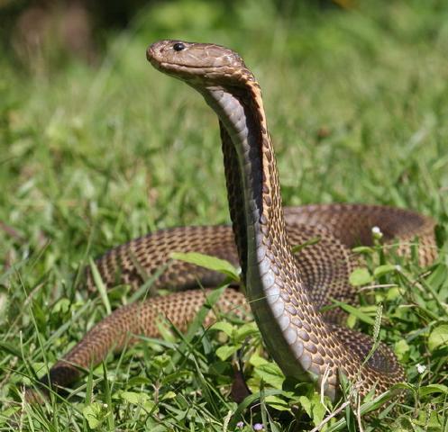 philippines-cobra-My List Mag