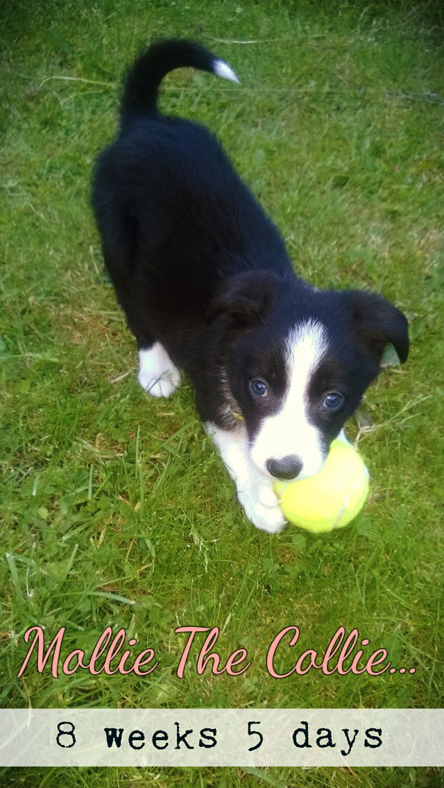 Mollie The Border Collie: 8 Weeks 5 Days Old Today