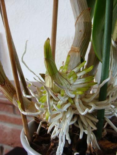 Kết quả hình ảnh cho rễ lan