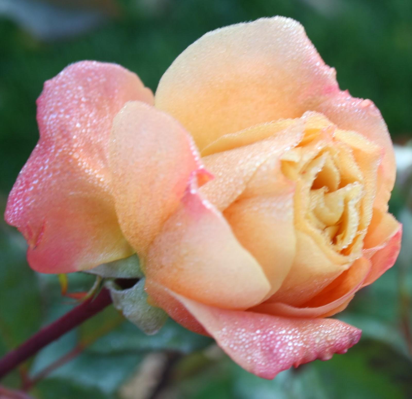 The Flower Bin Fall Rose Care