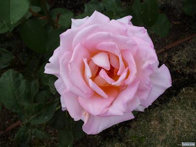 薄桃色の薔薇