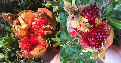 A composite photo showing pomegranate fruit splitting open before ripening.