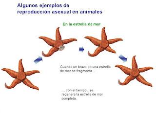 La estrella de mar se reproduce sexualmente